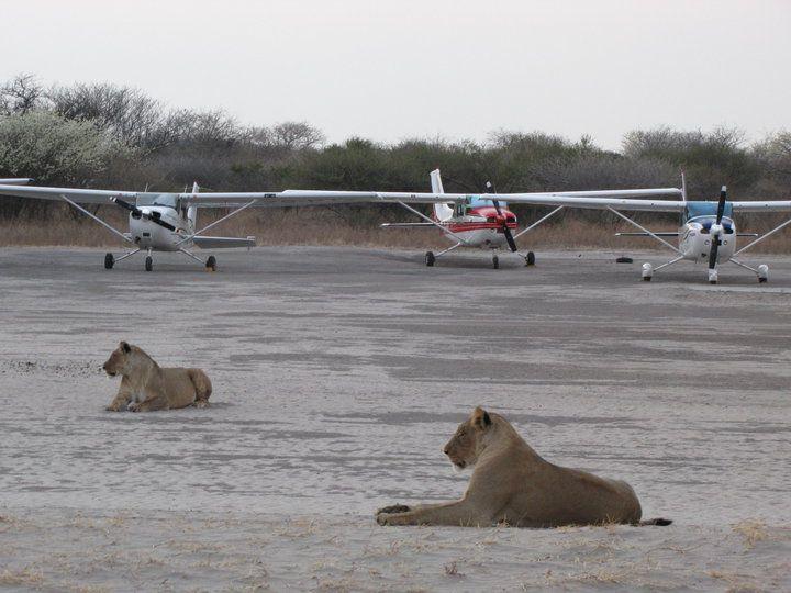 Lions on Haina airstrip  #kalahari #botswana #safari #africa #travel #bushmen #desert #bigfive #wildlife #animals #lodgeaccommodation #gameviewing