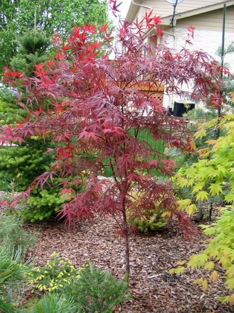 17 best images about japanese split leaf maple tree on for Maple trees for small gardens