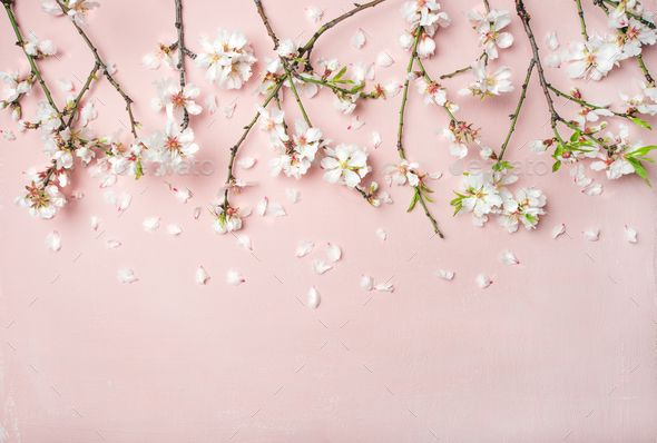 Spring Almond Blossom Flowers And Petals Over Light Pink