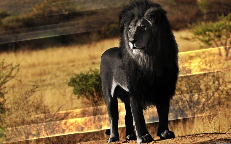 Rare-Black-Lion-03.jpg (2560×1600) | Great animals ...