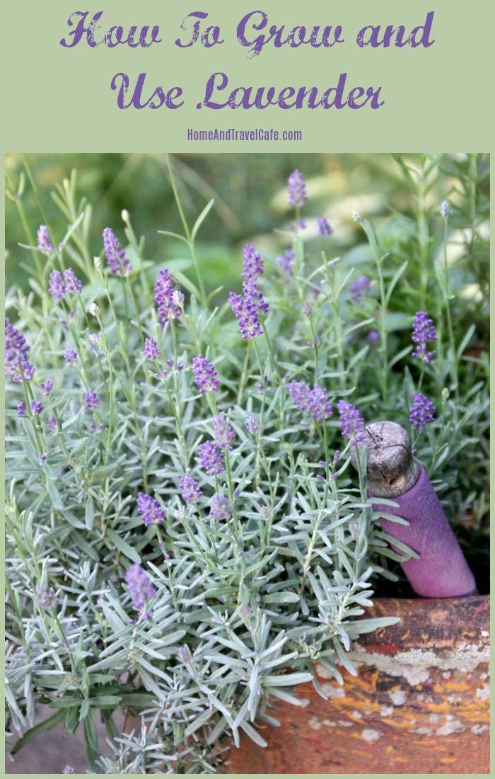 How to grow and use lavender, tips and tricks for growing lavender and diy projects using lavender, also lavender gift ideas and body products #lavender #herbs #growinglavender #herbgarden #diy #containergardening #gardening