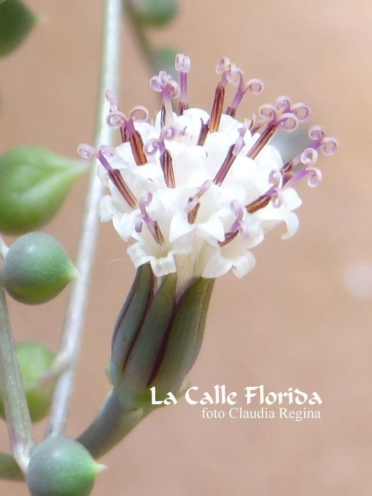 senecio rowleyanus succulent - suculenta  nome popular: colar de perolas , ervilhas da sorte