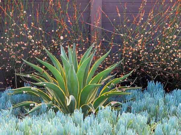 As if studded with diamonds, Elegia tectorum provides a charming backdrop to the incredibly elegant Agave demestiana 'Variegata' and the evergreen ground-hugging Blue Chalk Stick (Senecio mandraliscae).