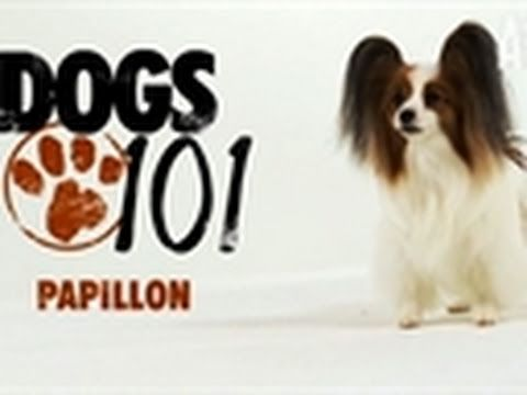 #Papillons are comforting, little lap dogs but tests also show them to be one of the smartest breeds around.