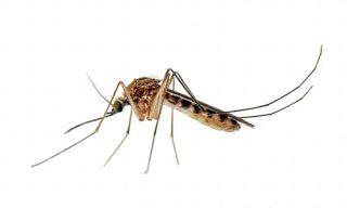 Fundação Oswaldo Cruz descobre que pernilongo pode transmitir zika