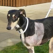 Cooper the trooper is a 3yr old lurcher looking for a loving home to give him the happy ending he deserves after he lost his leg in an accident. He could possibly live with another medium sized dog, no cats and children aged over 12yrs as he does have a sensitive side. When he knows you he will look at you adoringly until he catches your eye..has he caught yours? http://www.woodgreen.org.uk/rehome/dogs/8951_cooper
