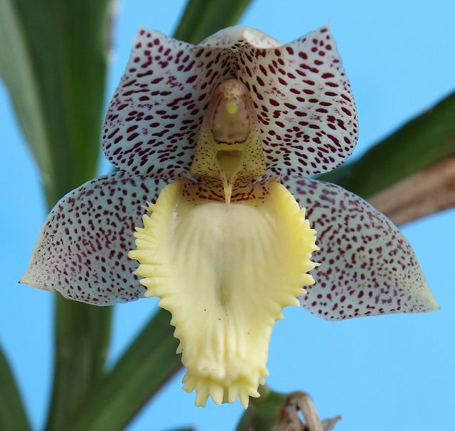 Catasetum x dasilvae - Flickr - Photo Sharing!