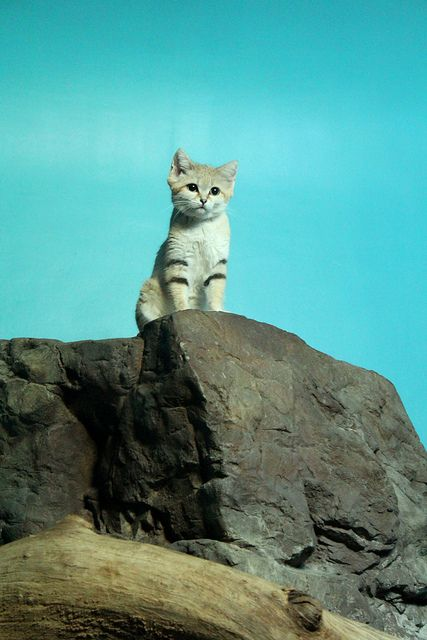 A tiny sand cat overlooking its domain at the Cincinnati Zoo