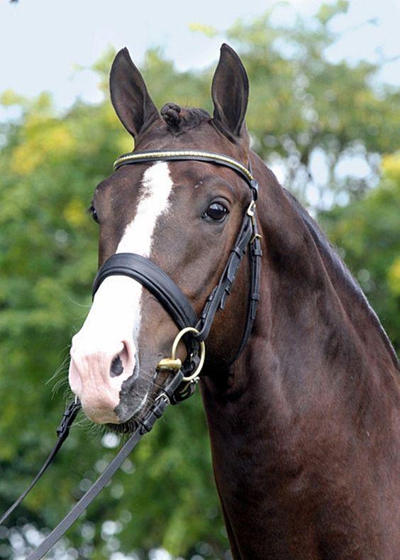 Blue Hors Don Olymbrio 2008 169cm Liver chestnut KWPN stallion, licensed Oldenburg:
