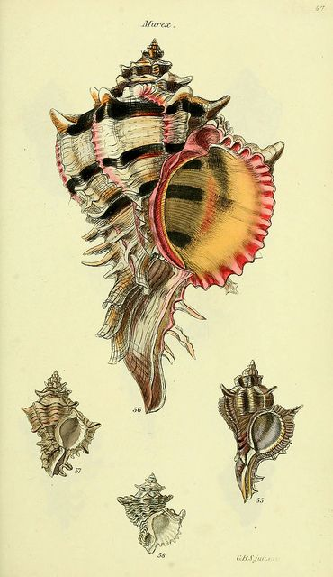 The conchological illustrations or, Coloured figures of all the hitherto unfigured recent shells  London :[s.n.] ;1832.