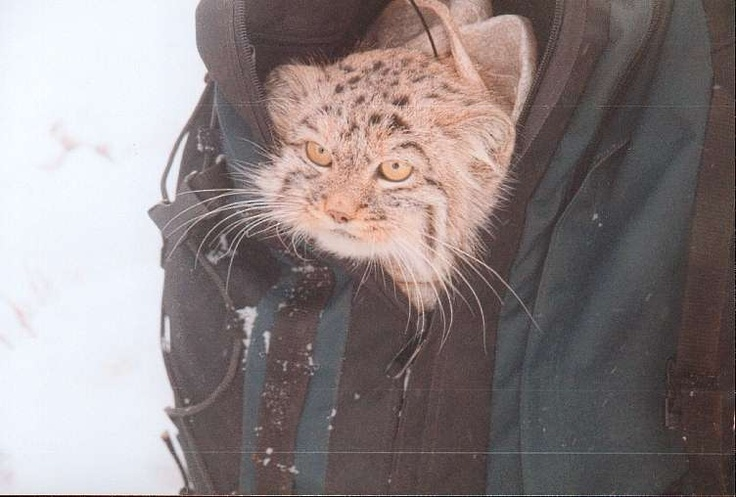 Pallas cat in researcher's pocket