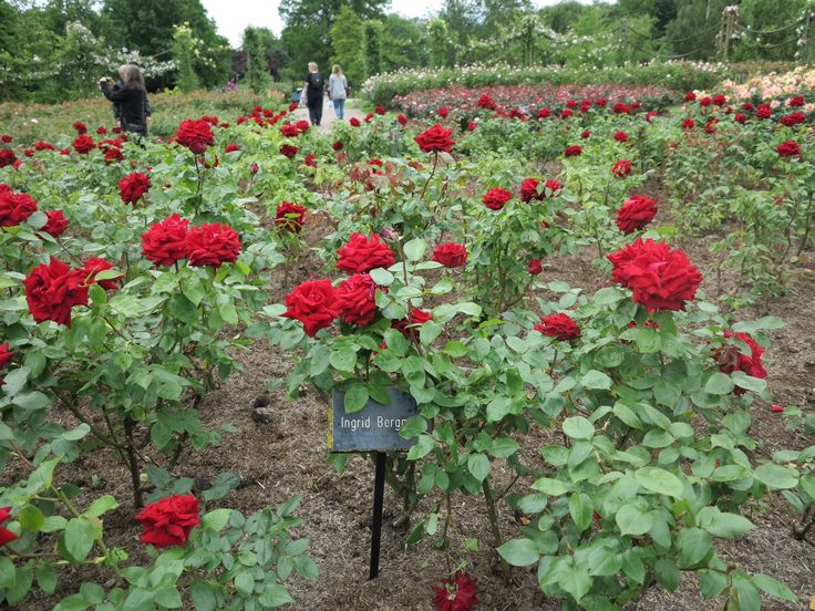 1000 images about red roses on pinterest. Black Bedroom Furniture Sets. Home Design Ideas