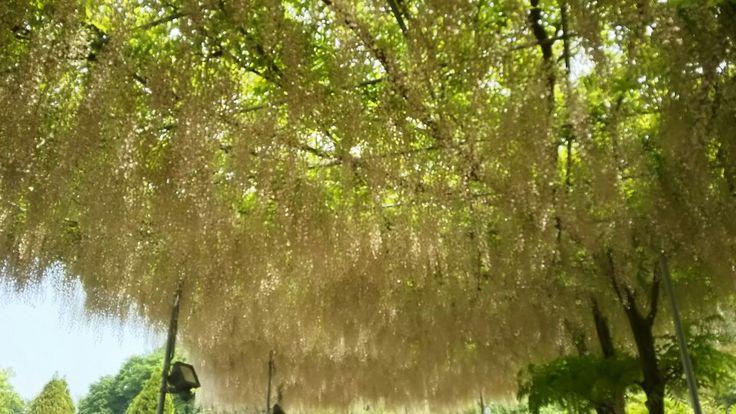 足利フラワーパークの藤。wisteria flowers。