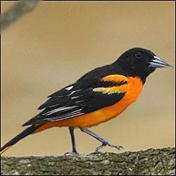 17 best images about oriole blackbird meadowlark grackle cowbird