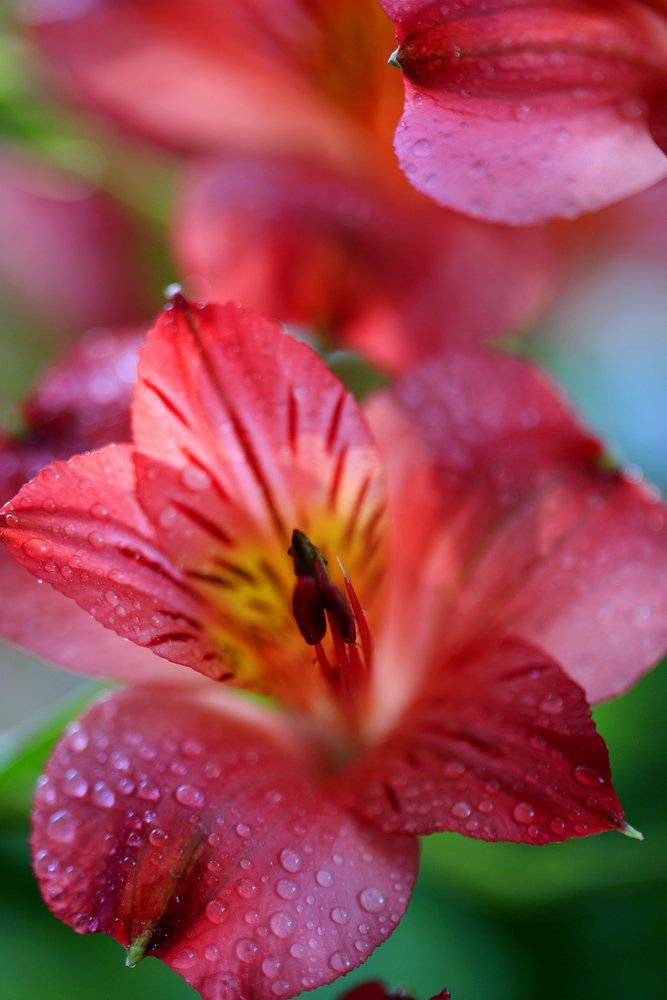 Red Alstroemeria, Peruvian lily or lily of the Incas
