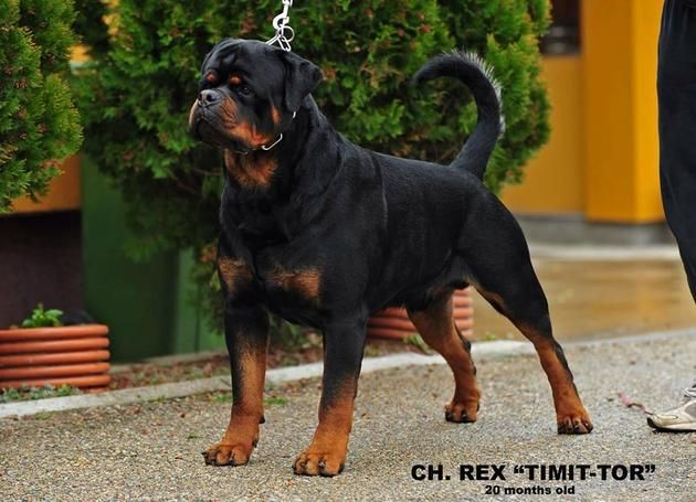 Best 25 German Rottweiler Ideas On Pinterest