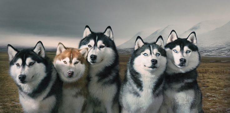 Huskys by Tim Flach #animal #photography #husky