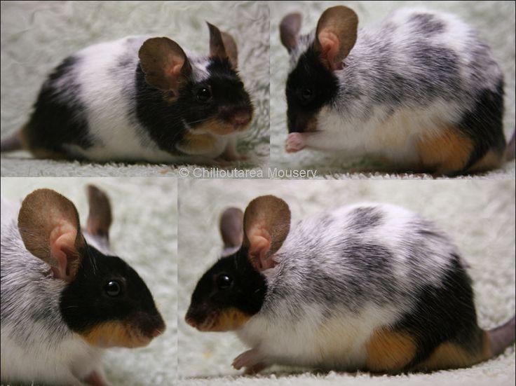Fancy rats as pets - photo#54