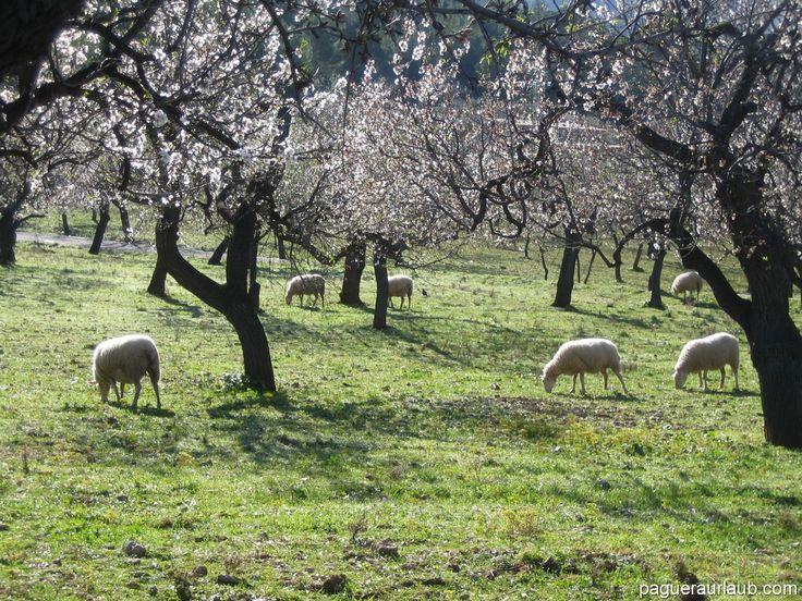 Mandelblüte rund um Paguera - Mallorca