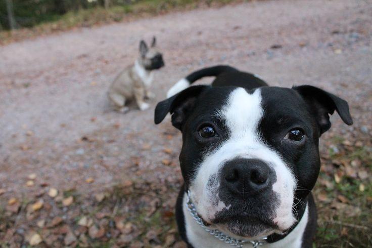 Do you see me??? -Harri 7 year old..#staffy #staffordshirebullterrier #frenchbulldog #frenchie #cute #puppy