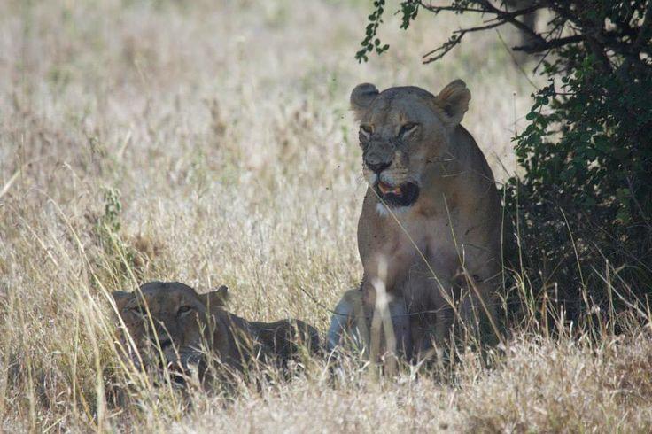 Shade. Lioness.