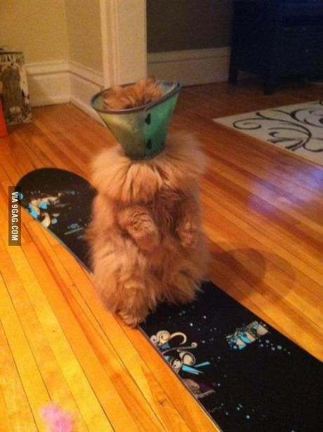 When an extra-fluffy cat has to wear a cone