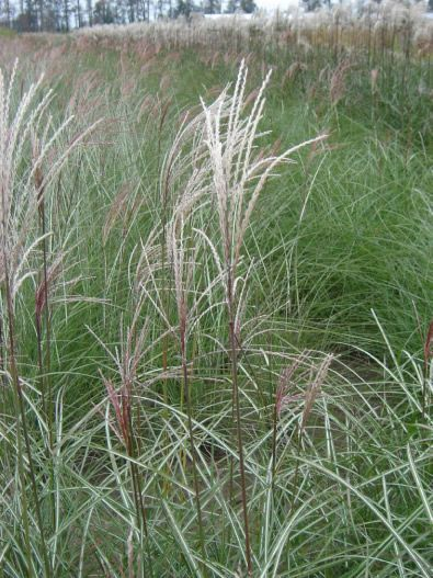 18 best images about ornamental grasses on pinterest for Ornamental grasses for sun