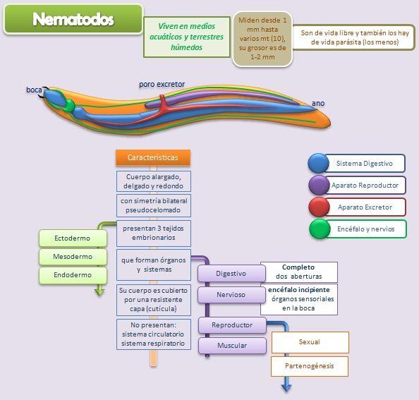 esquema-nematodos.jpg (594×567)
