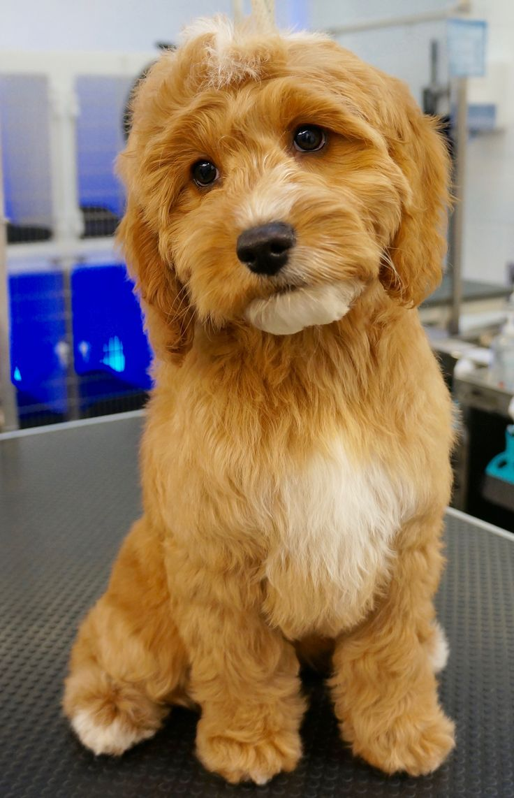 Parky - Cockapoo Puppy