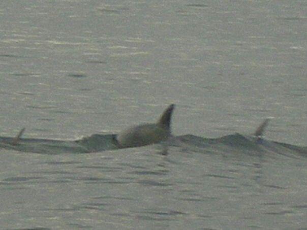 Delfines en El Estrecho de Magallanes.  Chabunco