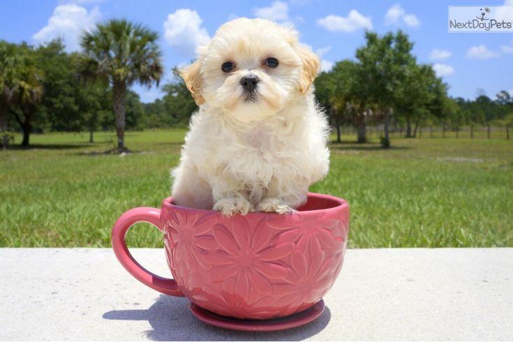 Malti Poo Maltipoo puppy for sale near Sarasota