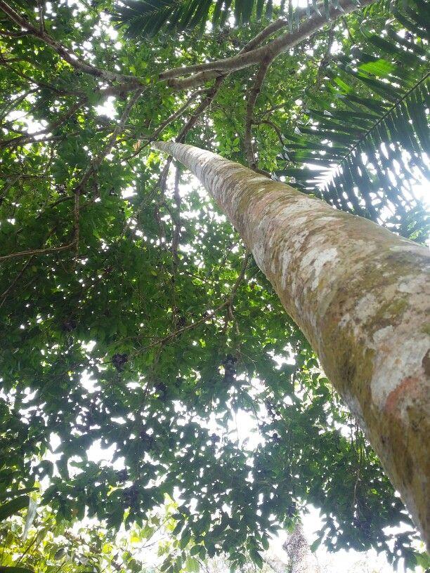 Pohon jengkol