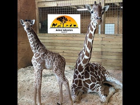 The Giraffe Cam is Back! You asked - we listened! Join us Sunday - Friday 4 PM - 8 PM EST Also - Tuesdays & Thursdays 12 Noon EST we will go LIVE on Youtu...