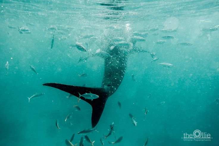 Whale sharks are beautiful creatures, so there is nothing hard to understand that a lot of people would like to meet them. They are called gentle giant, on the purpose, it is even possible to swim with them, priceless impressions. …