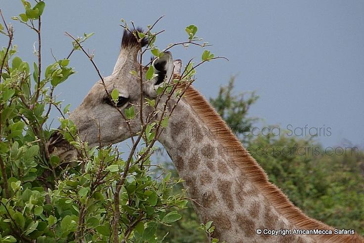 Abu Camp Safari Okavango Delta - Okavango Safaris - Picasa Web Albums