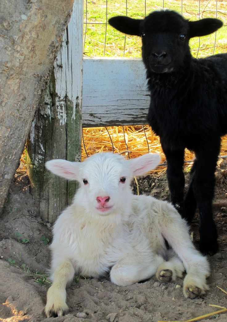 2. You would spot these Cuties on a Farm, especially in Spring.
