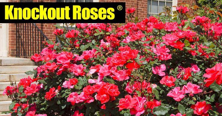 Roses In Garden: Best 25+ Types Of Rose Bushes Ideas On Pinterest