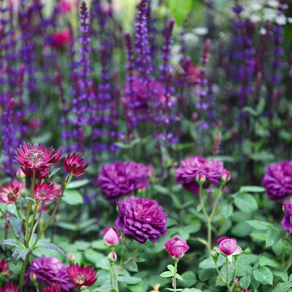 Rosa 'Reine des Violettes', Astrantia major 'Claret', and Salvia × sylvestris 'Mainacht' Available from: Crocus.co.uk