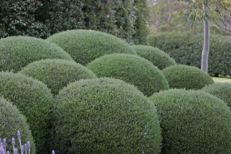 Robert Boyle Landscaping - Moorooduc : Balls of tightly clipped Westringia bushes.
