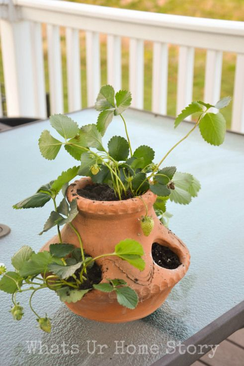 How to plant strawberries in a strawberry pot www.whatsurhomestory.com