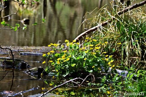 Marsh-marigold in the Bakony