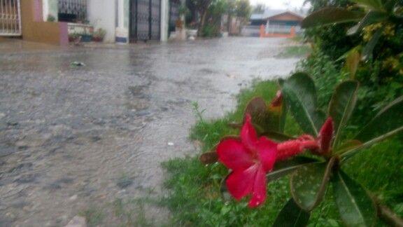 Flower Kamboja Rain