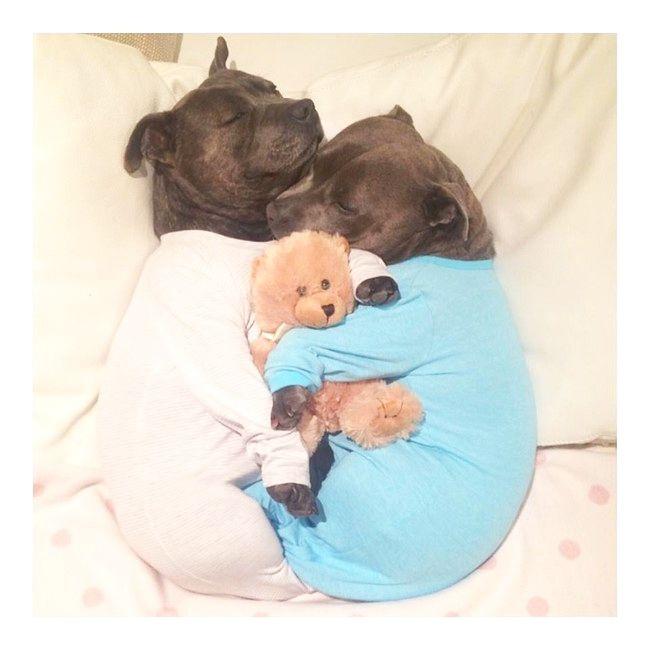 パジャマを着たブルドッグ達が可愛すぎる! http://inunoshitukedvd.blog.fc2.com/blog-entry-46.html #犬 #動物