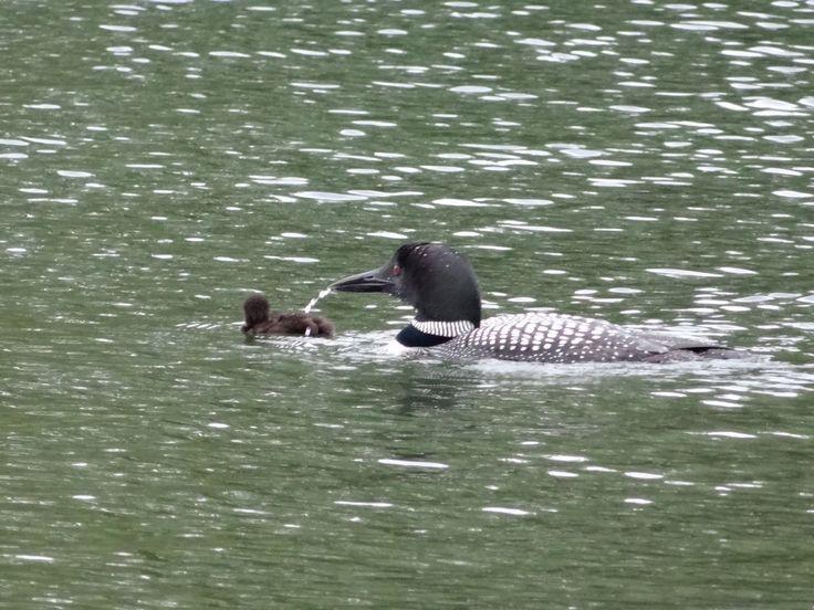momma loon feeding her new baby on Clear Lake. pinned by girlfriendgetaway.ca