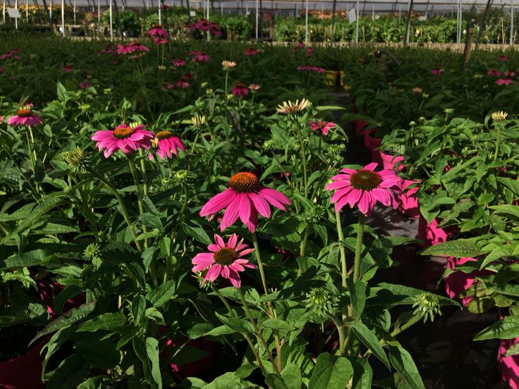 #coneflowers #greenhouse #horticulture