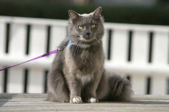 How to Train a Cat on a Leash.