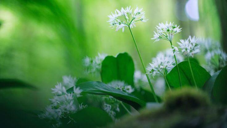 Najbardziej wartościowe są młode zielone liście czosnku niedźwiedziego