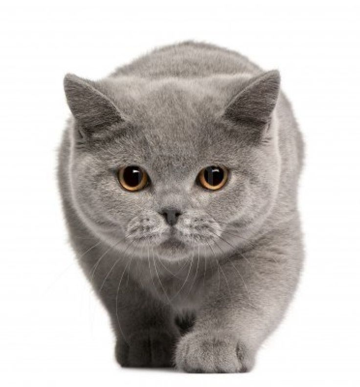 British Shorthair. I'm not much of an animal person but this kitty looks cute and super soft!