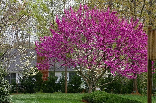 Oklahoma Redbud - I'm dying to find a place in my yard for this tree!!