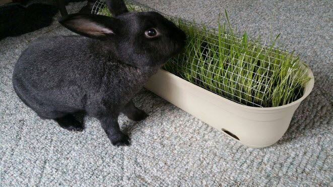 DIY Rabbit Grazing Planter. Would also be good for cat grass or other animals who benefit from fresh greens.